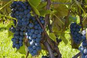 Grapes On A Vine Sutton Junction Quebec Print by David Chapman