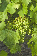 Grapevines Originals - Grapes on the Vine by Eileen Mandell