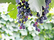 Vine Leaves Posters - Grapes on the Vine Poster by Glennis Siverson