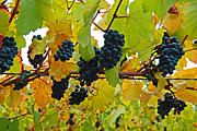 Bunch Of Grapes Framed Prints - Grapes On The Vine Framed Print by Jani Freimann