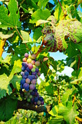 Wineries Prints - Grapes On The Vine  Print by Jeff  Swan