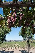 Agriculture Art - Grapes on the Vine Napa Valley California by George Oze