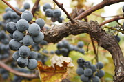 Blue Grapes Photos - Grapes on Vine by Dennis Faucher