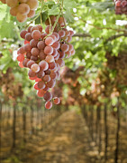 Landscape In Israel Prints - Grapes on Vine in Vineyard Print by Noam Armonn