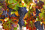 Vine Leaves Posters - Grapes on vine in vineyards Poster by Garry Gay