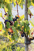 Grape Leaves Photo Framed Prints - Grapes on Vine Framed Print by Jeremy Woodhouse