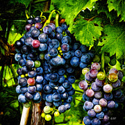 Tom Bell Framed Prints - Grapes Ready for Harves Framed Print by Tom Bell