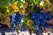 Grapevine Autumn Leaf Art - Grapes ready for harvest by Garry Gay