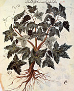 Iraq Prints - Grapevine, 1229 Print by Granger