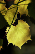 Grapevine In The Back Lighting Print by Michal Boubin