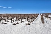 Landscape In Israel Prints - Grapevines In Snow Print by Noam Armonn