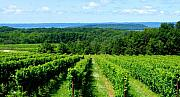 Traverse Bay Photos - Grapevines on Old Mission Peninsula - Traverse City Michigan by Michelle Calkins