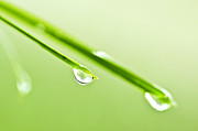 Greenery Posters - Grass blades with water drops Poster by Elena Elisseeva