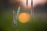 Nature Study Photo Prints - Grass Blooming Print by Heiko Koehrer-Wagner