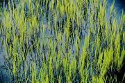 Aquatic Plants Prints - Grass Growing In The Water Creates An Print by Skip Brown
