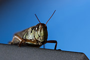 Katydid Prints - Grass Hopper Pose Print by Darcy Michaelchuk