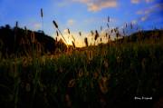 Grass In Field At Sunset Print by Dan Friend
