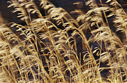 Pods Framed Prints - Grasses And Seedheads Swaying Framed Print by Jason Edwards