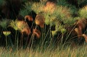 Plants Framed Prints - Grasses And Tassles, Zambezi River Area Framed Print by Chris Johns
