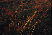 North Vancouver Framed Prints - Grasses Glow Golden In Evenings Light Framed Print by Raymond Gehman