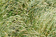 Long Art - Grasses by Les Cunliffe