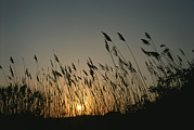 Silhouettes Metal Prints - Grasses On A Beach Silhouetted Metal Print by Taylor S. Kennedy