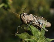 Grasshopper 2 Print by Ernie Echols