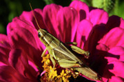 Femur Prints - Grasshopper on Zinnia Print by Thomas R Fletcher
