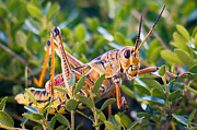 Locust Prints - Grasshopper Print by Pam Kennedy