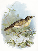 Bird Drawing Posters - Grasshopper Warbler, Historical Artwork Poster by Sheila Terry