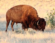 Game Pyrography Metal Prints - Grassland Giant Metal Print by Bob Bahlmann