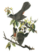 North American Wildlife Posters - Gray Catbird Poster by John James Audubon