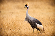 Crane Framed Prints - Gray Crowned Crane Framed Print by Adam Romanowicz