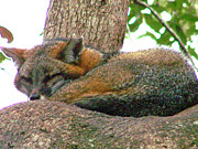 Marilyn Holkham Prints - Gray Fox Having a Siesta Print by Marilyn Holkham