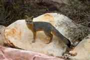 Jmp Photography Prints - Gray Fox Print by James Marvin Phelps