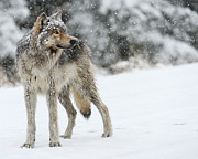 Wolves In Nature Prints - Gray Ghost of the Northfork II Print by Amy Gerber