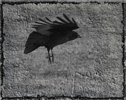 Crow Art Prints - Gray Print by Gothicolors And Crows
