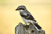 Bluejay Metal Prints - Gray Grey Jay Young Metal Print by Mark Duffy