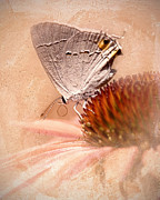 Blooms  Butterflies Photo Posters - Gray Hairstreak Butterfly Poster by Betty LaRue