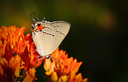 Framedart Prints - Gray Hairstreak Print by Scott Helfrich