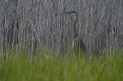 Gray Heron Posters - Gray Heron Hunting In Marsh Reeds Poster by Paul Sutherland