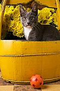 Pets Photo Posters - Gray kitten in yellow bucket Poster by Garry Gay