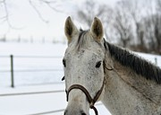 Forelock Photos - Gray On Winter White by JAMART Photography