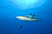 Gray Reef Shark. Papua New Guinea Print by Steve Jones