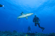 New Britain Acrylic Prints - Gray Reef Shark With Divers, Papua New Acrylic Print by Steve Jones