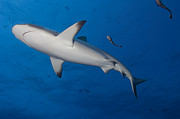 Reef Fish Posters - Gray Reef Shark With Remora, Papua New Poster by Steve Jones