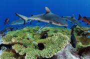 Reef Sharks Posters - Gray Reef Sharks And Red Snappers Hover Poster by Brian J. Skerry