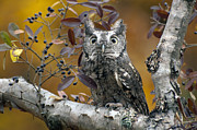 Cheryl Cencich Art - Gray screech owl by Cheryl Cencich