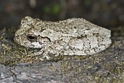 Tree Frog Prints - Gray Treefrog Print by Clay Coleman