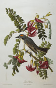 Birds With Flowers Posters - Gray Tyrant Poster by John James Audubon